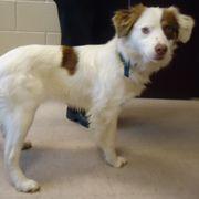 American Brittany Rescue :: Tanya (North Carolina)