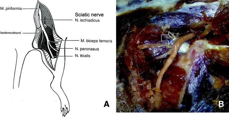 rat    sciatic nerve anatomy
