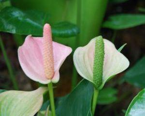 #Anthurium este o #planta tropicala originara din America de Sud. Va inflori toata vara daca stii cum sa o ingrijesti. Afla mai multe informatii despre Floarea Flamingo in articolul din #SuntFericita.ro