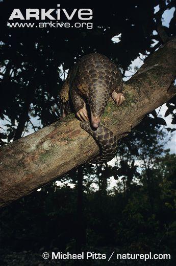 Manis javanica hanging, dorsal view