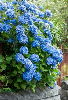 Nikko Blue Hydrangea  Height: 6 ft.  Width: 4-5 ft.  Growth / Year: up to 1 ft.  Sunlight: Partial Sun  Blooms: Summer  Spacing: 3 ft.