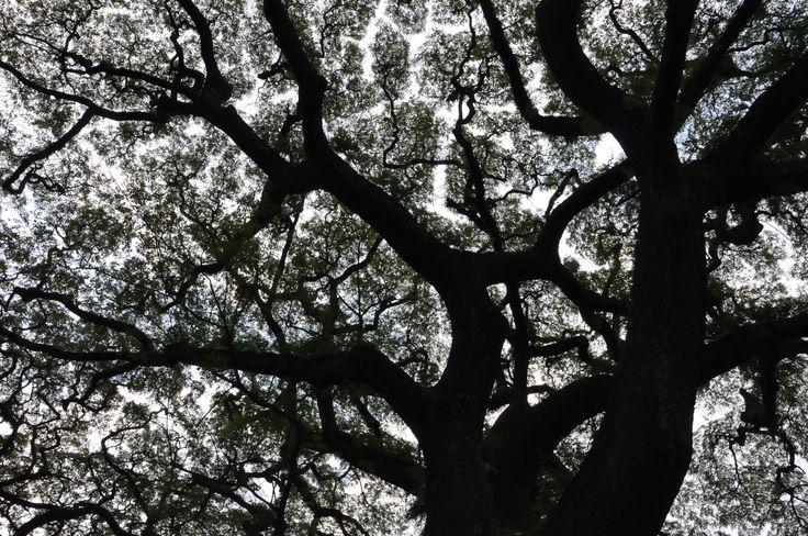 Taken around Taman Cempaka (before), Taman Fotografi (now). I hope this trees willn't gone.