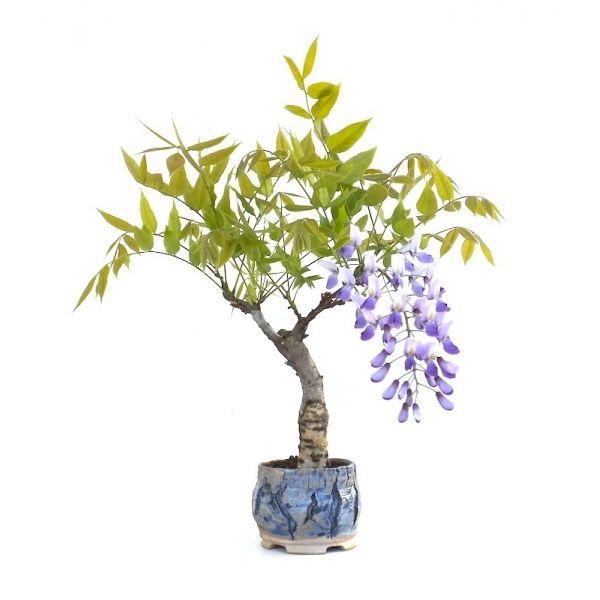 Vente en ligne de bonsai glycine wisteria floribunda 35 cm for Acheter plantes en ligne