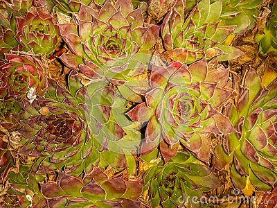 Closeup photo of Echeveria longissima