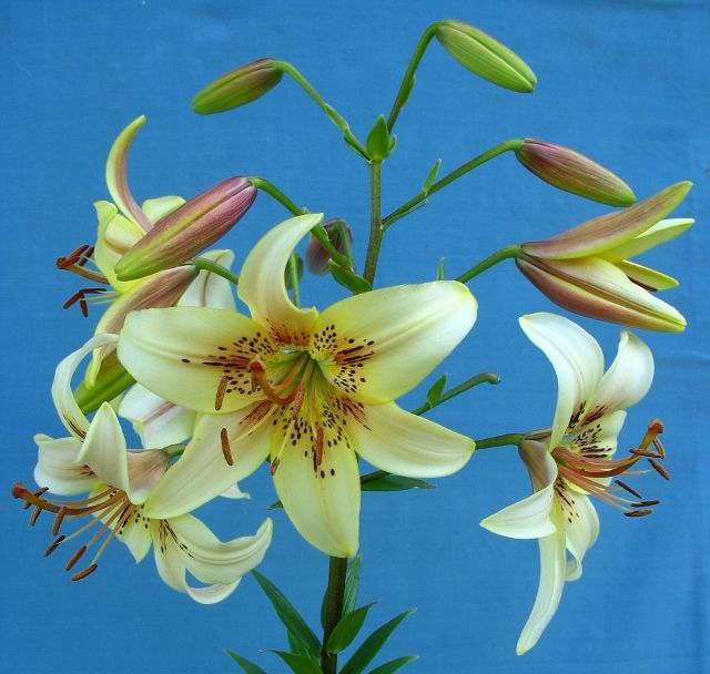 АЛИБИ  Цветет с конца июня в течении 20-25 дней. 11-20 аромат. цв 12-13см высота 80-90см