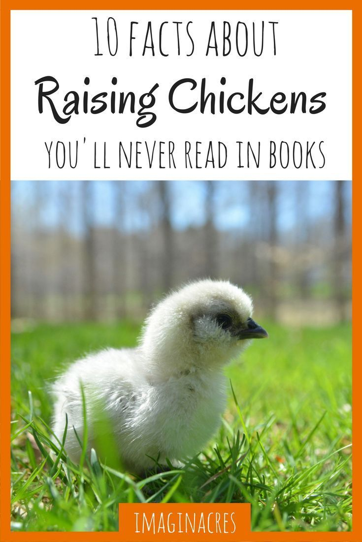 10 Things About Raising Chickens You Won T Read In Books Homestead