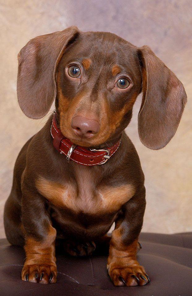 dachshund mini - Pesquisa Google
