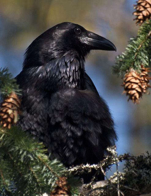 Raven at Rest by ingridtaylar, via Flickr