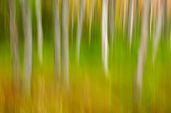 Tony Sweet Photograph, (present day).  Great long exposure camera movement shot.  Possible silver birch trees with grass and either early, or end of day sunlight