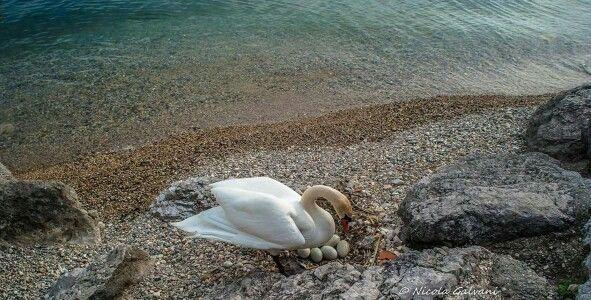 Ecco la mamma cigno che controlla la covata [foto Nicola Galvani] #LagoDiGarda #VisitLagoDiGarda #NaturaLagoDiGarda #NaturaDelGarda #LakeGarda #VisitLakeGarda