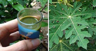 Aquí esta cómo aumentar significativamente su número de plaquetas, con jugo de Hojas de papaya ~ La Buena Salud Es Vida