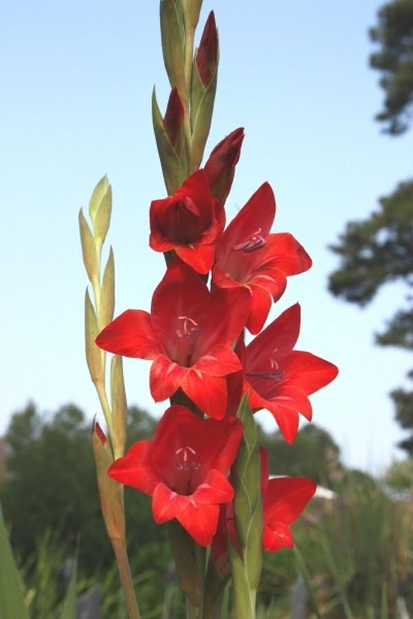 Hardy Gladiolus 'Robeson Red'