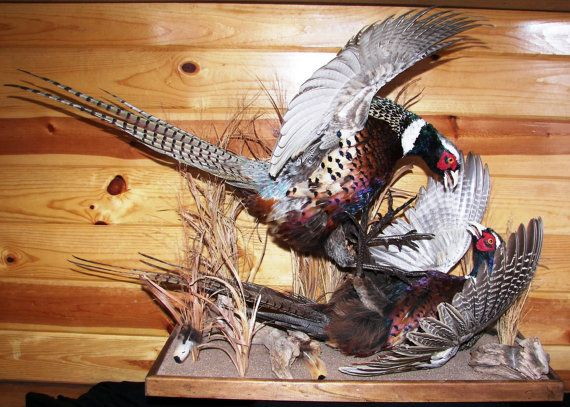 Pheasant Mount Fighting Roosters Taxidermy