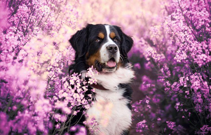 hund-tierfotografie-hunde-hundeportrait-hundefotografie-rosa-pink-940.jpg…