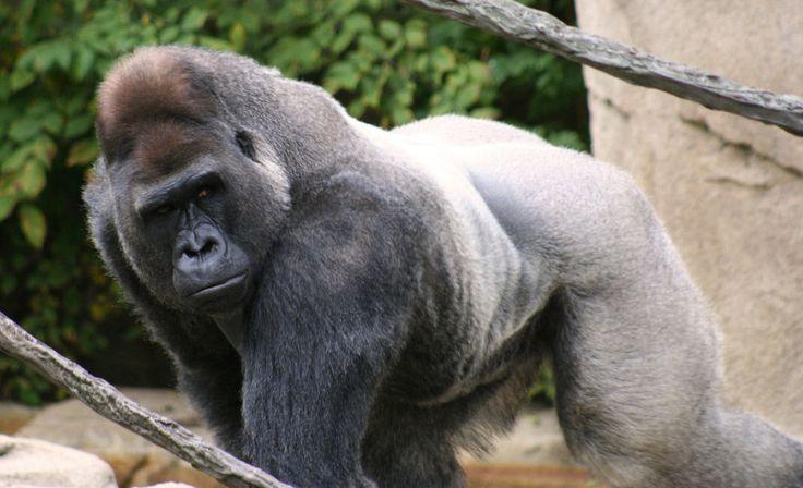 19 besten Gorilla Anatomy Bilder auf Pinterest | Berggorilla ...
