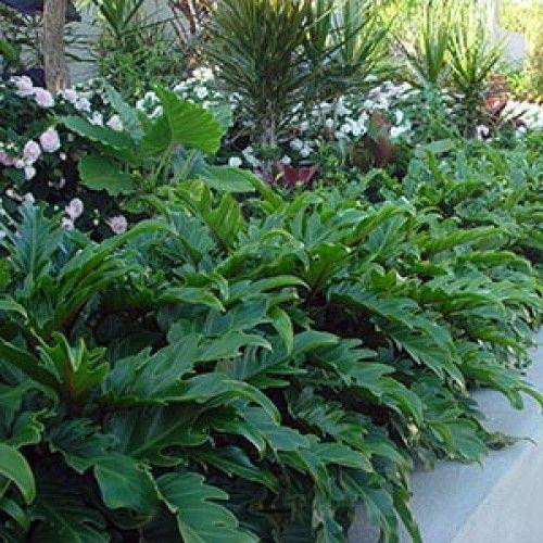 Philodendron 'Xanadu' - Xanadu