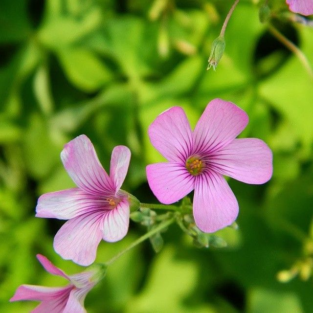 My most proud picture I have ever taken, I don't know what this flower is called, but I know that it came from Ireland. Very beautiful! #flower #irishflowers #beautiful #scene #scenery #scenary #naturelovers #nature #lifesbeautiful #ireland #irishflower #tiny #tinyflower #tinyflowers #small #smallflower #cuteness #cute #adorable #zoom #closeup #closeups #potrait #zoomin #cuteflower #simplethings #simple #pink #pinkflowers #pinkflower
