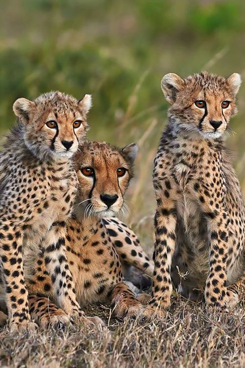 Cheetah mother and her cubs photographed a late afternoon at Masai Mara, Kenya by Andrea Marzorati