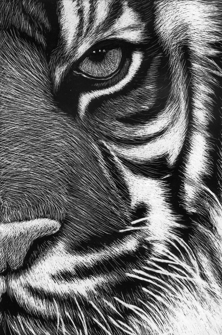 scratchboard tigre by Roman-Novikov on deviantART