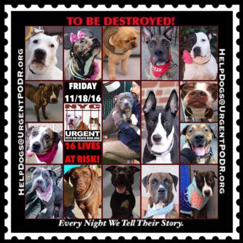 """14 BEAUTIFUL LIVES TO BE DESTROYED 11/18/16  @ NYC ACC **SO MANY GREAT DOGS HAVE BEEN KILLED: Puppies, Throw Away Mamas, Good Family Dogs. This is a HIGH KILL """"CARE CENTER"""" w/ POOR LIVING CONDITIONS.  Please Share:  To rescue a Death Row Dog, Please read this: http://information.urgentpodr.org/adoption-info-and-list-of-rescues/"""