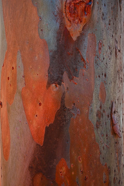 Bark of a gum tree taken by the yarra River, near Melbourne, scarred by possums.