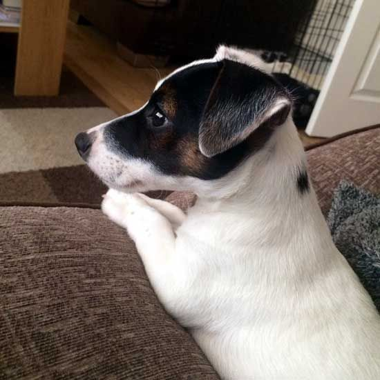 The Most Adorable Little Jack Russell Terrier Puppy - I want him so much!