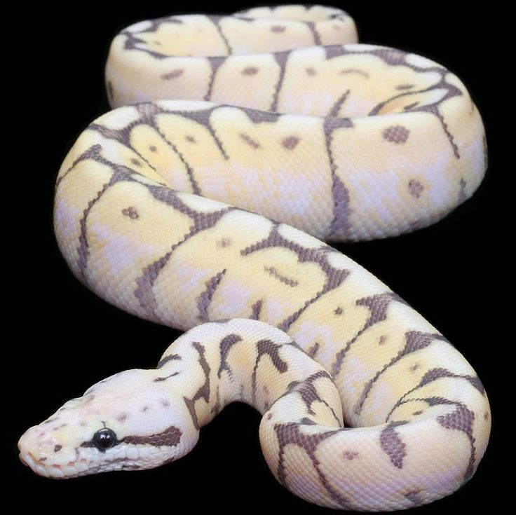 """Killer Bee(Super PastelXSpider) Ball Python  Will be producing these next year!  Like"""" in FB! www.facebook.com/kingsreptiles619"""