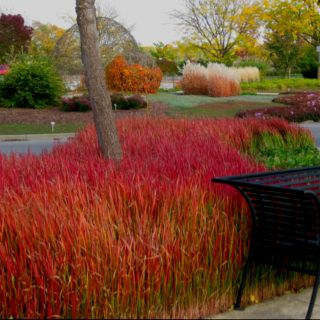 Japanese Blood Grass Canada imperata cilindrica red baron