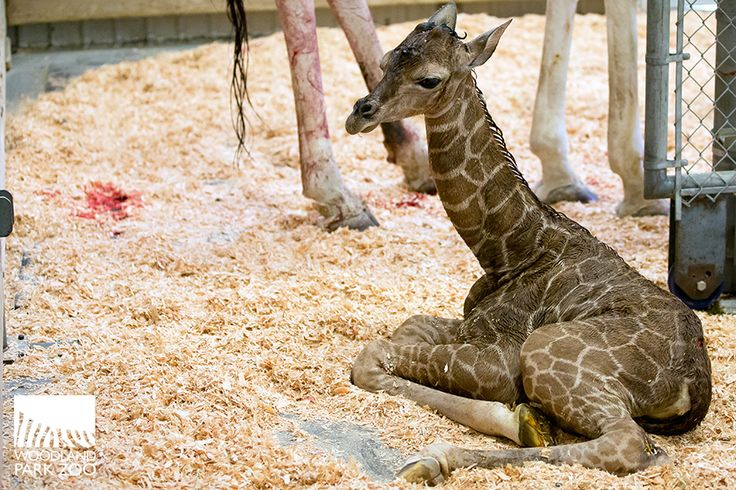 Webcam will be on after 72 hours !Giraffe Tufani gave birth at Woodland Park Zoo on June 20, 2017.  Welcome to new baby !!!!! HURRAH !