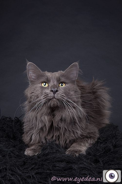 Maine Coon, blue solid (a). exceptionella's blue sky
