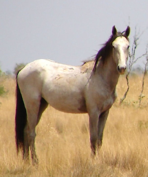 """Brumby. A Brumby is a free-roaming feral horse in Australia. Although found in many areas around the country, the best-known brumbies are found in the Australian Alps region in south-eastern Australia. Today, most of them are found in the Northern Territory, with the second largest population in Queensland. A group of Brumbies is known as a """"mob"""" or """"band""""."""