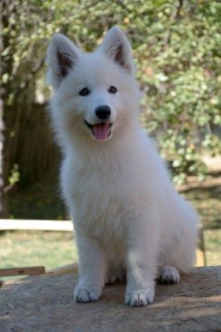check the blog about swiss white shepherd Bela (Bela'sworld): http://swisswhiteshepherdbela.blogspot.com/