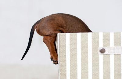 Neugieriger Dackel. Bild aus einer bezaubernden Serie von Petra Spoerle http://dackel-hundefotos.de/