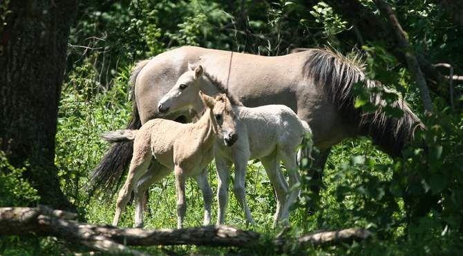 Zobacz zapomniane dzikie konie z Bieszczad
