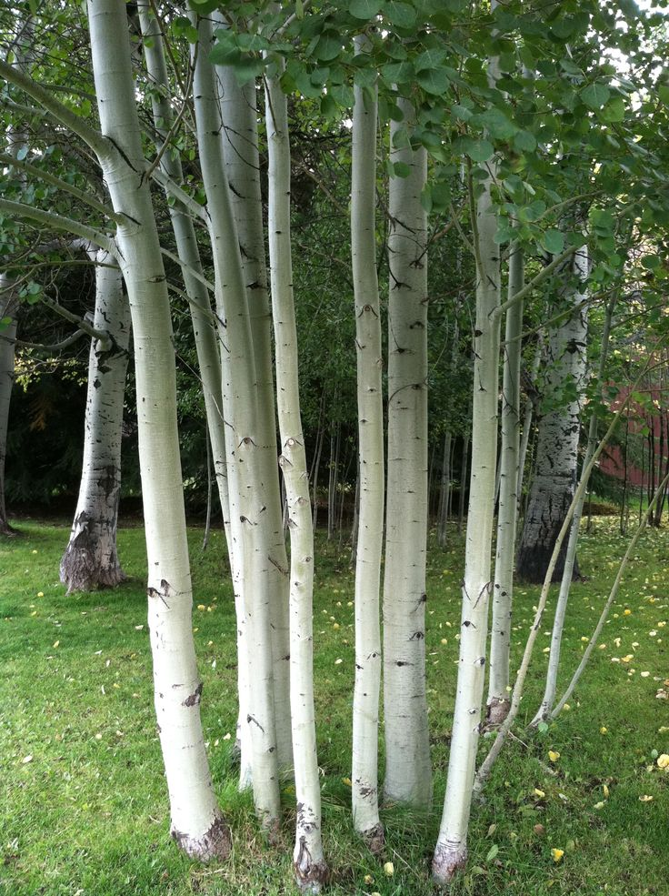 European White Birch, National tree of Finland ... they are beautiful and one more reason to miss Finland!