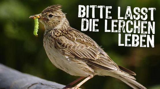 Kennen Sie noch den Gesang der Lerche? Oder den Revierruf des Rebhuhns? Monokulturen bedrohen nicht nur die tropische Artenvielfalt. Auch die Vögel, die einst so zahllos auf unseren Äckern brüteten, sind nun selten. Mais für Biogasanlagen begräbt ihre Lebensräume. Es ist Zeit, die Artenvielfalt zu fördern – nicht die Energiepflanzen. Bitte unterschreiben Sie diese Petition: https://www.regenwald.org/aktion/884/bitte-lasst-die-lerchen-leben