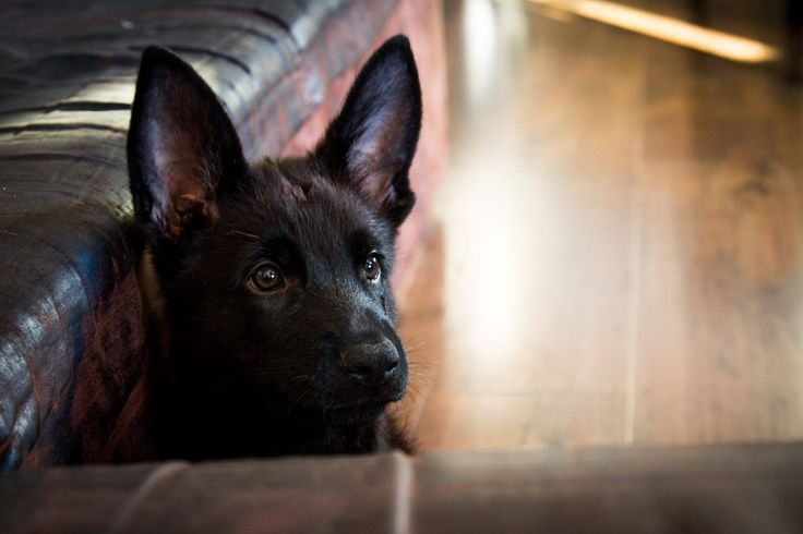 #puppy # black german shepherd