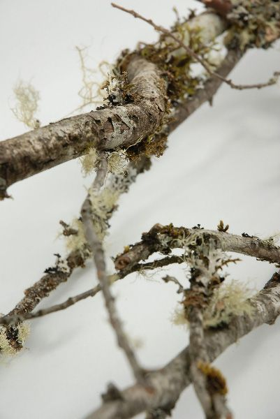 Natural Lichen Covered Branches (3 branches) $12
