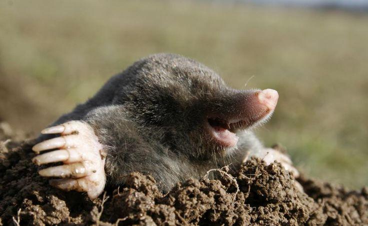 So retten Sie Ihren Rasen vor dem Maulwurf -  Maulwürfe sind possierliche Tierchen und dazu noch sehr nützlich, weil sie Engerlinge und andere Schädlinge vertilgen. Leider nehmen sie bei der Anlage ihres Höhlensystems aber wenig Rücksicht auf Rasen und Blumenbeete. So vertreiben Sie das geschützte Tier aus Ihrem grünen Paradies.