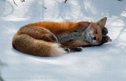 Fox lunar flyknit buy