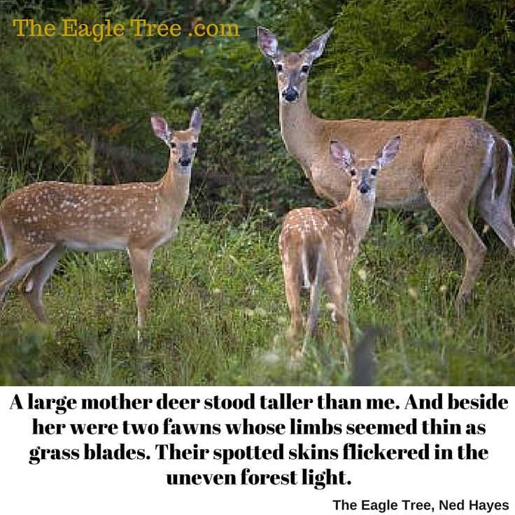 """Mother deer with 2 young offspring. Do some people really go with rifles and kill these beautiful deer just for """"fun""""?  That's difficult to imagine in this day and age. Who takes care of the 2 young deer if a hunter murdets their mother for """"sport"""" or """"fun""""?  Don't we have a resposibility to protect the wildlife that lived around us?"""