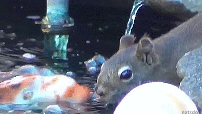 Squirrel meets koi. Quickly falls in love.