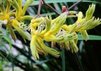 Anigozanthos, anigozantus, kangurza łapa odmiana żółta