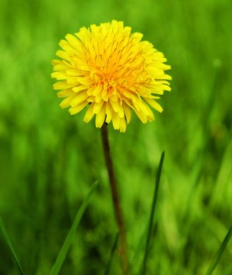 Dandelion Root: Uses, Side Effects, Benefits of Dandelion Root Tea - Shape Magazine