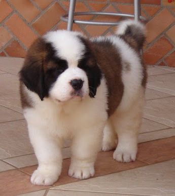 I know, he is not a bernese, but a cousin St. Bernard. I love them, too.