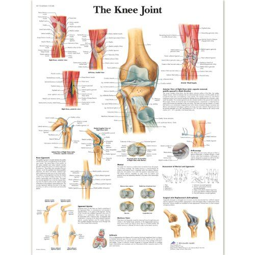 3b Scientific Human Anatomy - The Knee Joint Chart Laminated Version