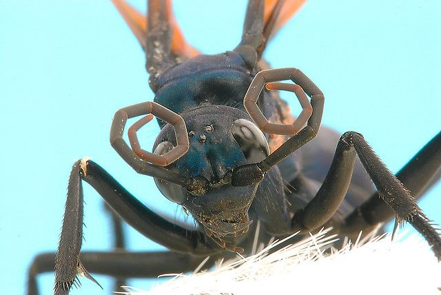 The Schmidt Sting Pain Index: How Much Could You Take? ~ The Ark In Space -Tarantula Hawk Wasp