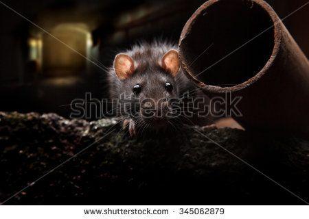 Gratis afbeelding op Pixabay - Rat, Koningin, Kroon, Hollow