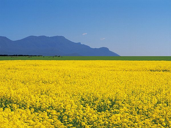 Canola Crop at Willaura near de Grampians, Victoria_ Australia
