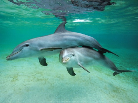 dolphins print allposterscom 1299 155x12
